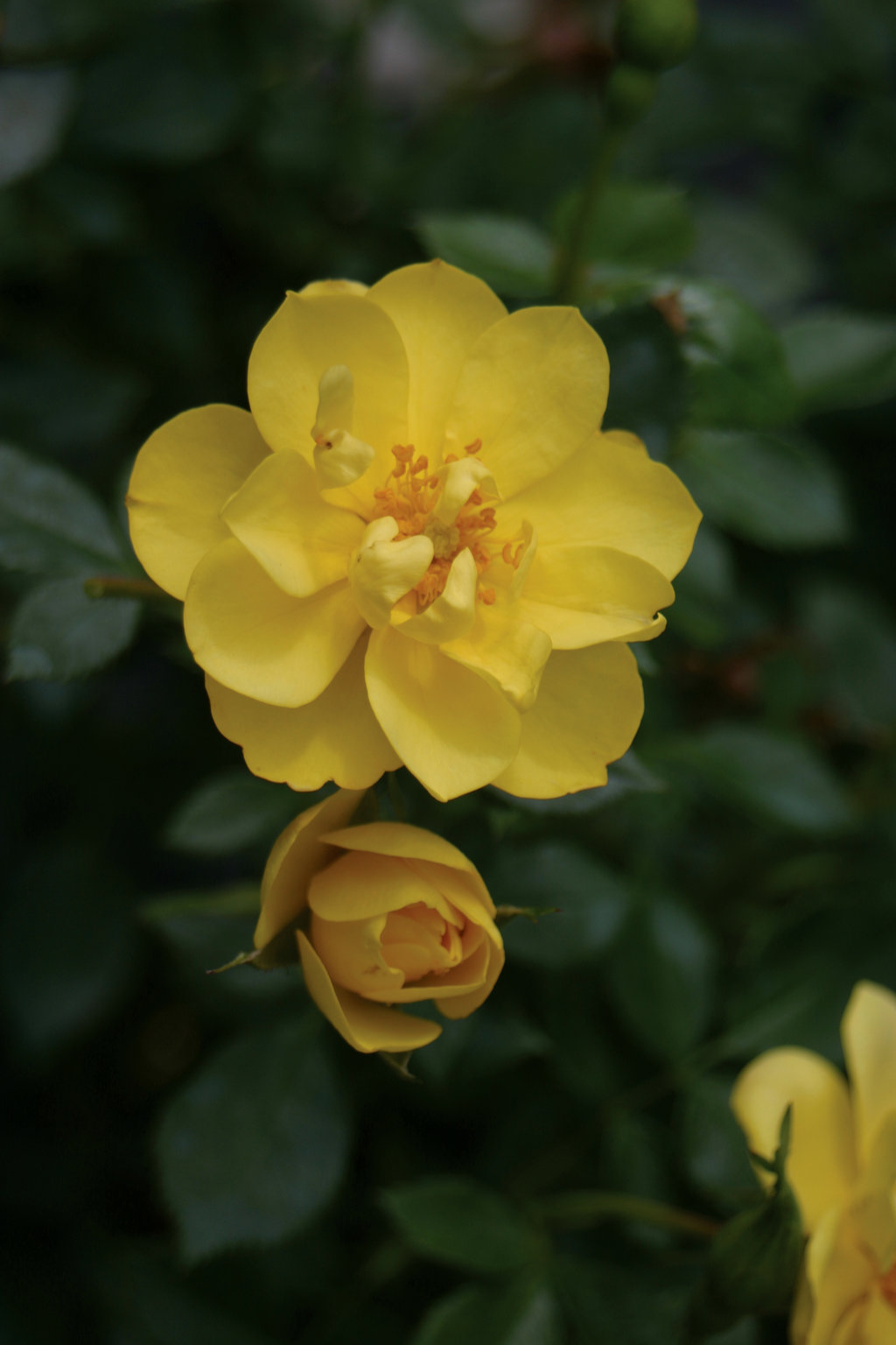 Oso Easy Lemon Zest Landscape Rose Rosa X Proven Winners