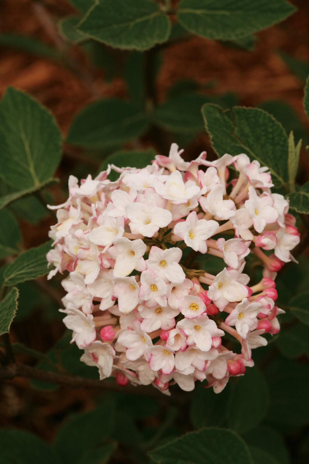 Spice Baby Koreanspice Viburnum Viburnum Carlesii