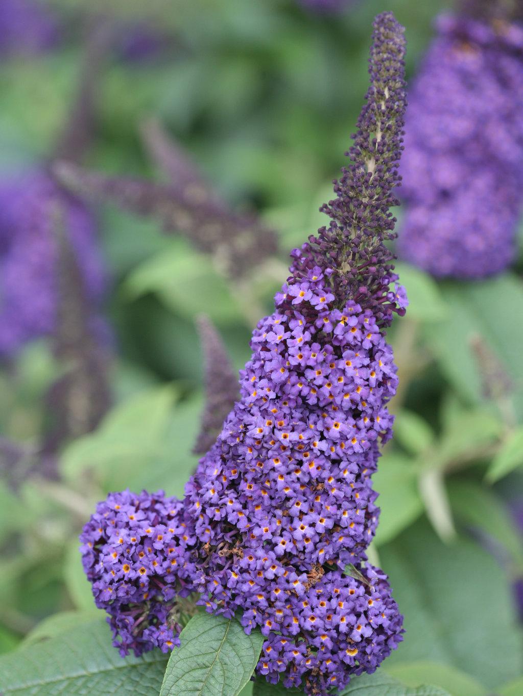 Best Butterfly Bush Varieties