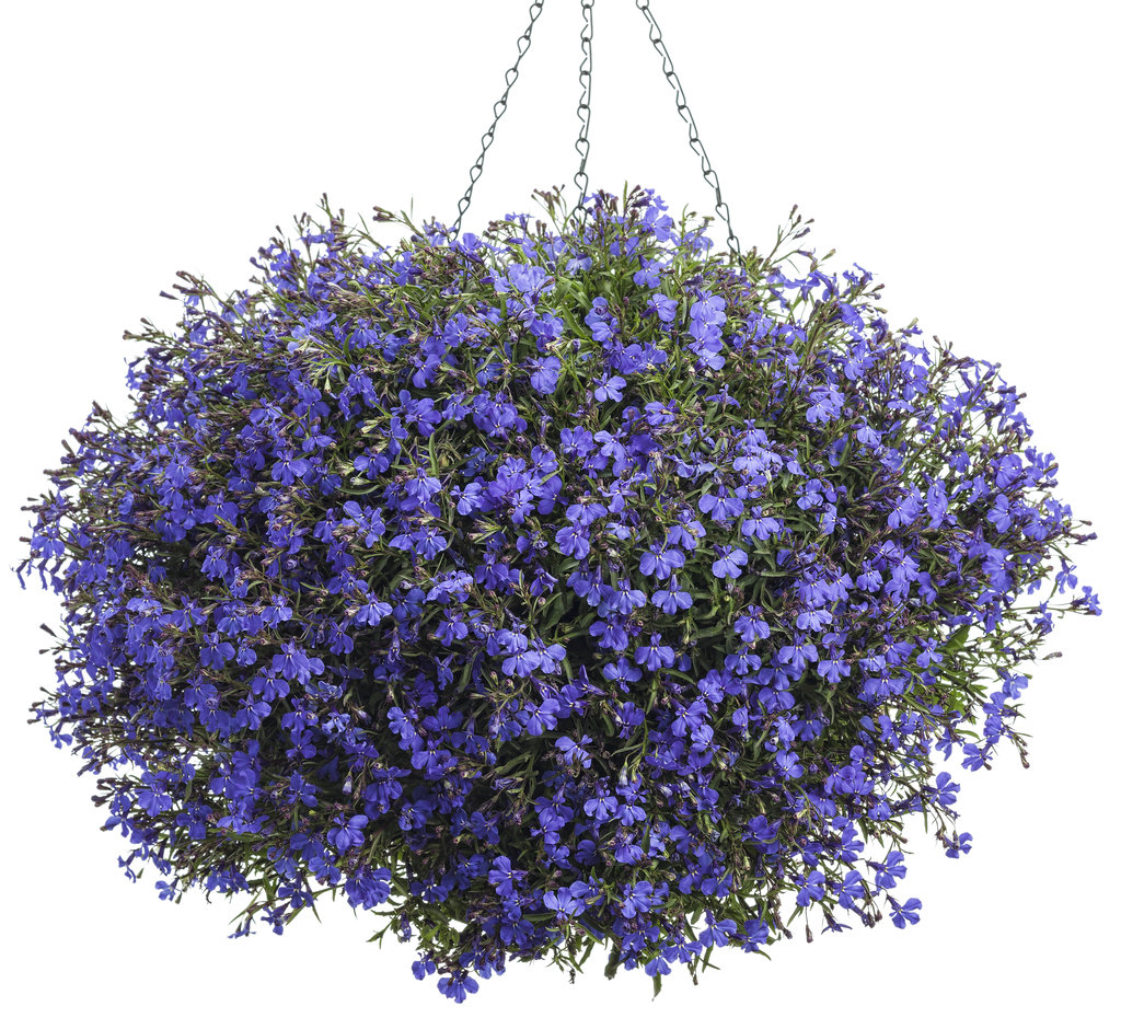 Top 10 flowering plants for Hanging baskets - GreenMyLife ...