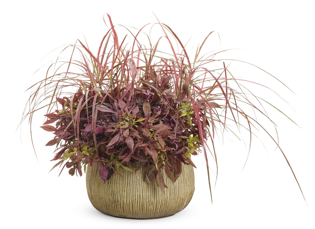 Graceful Grasses 174 Fireworks Variegated Red Fountain