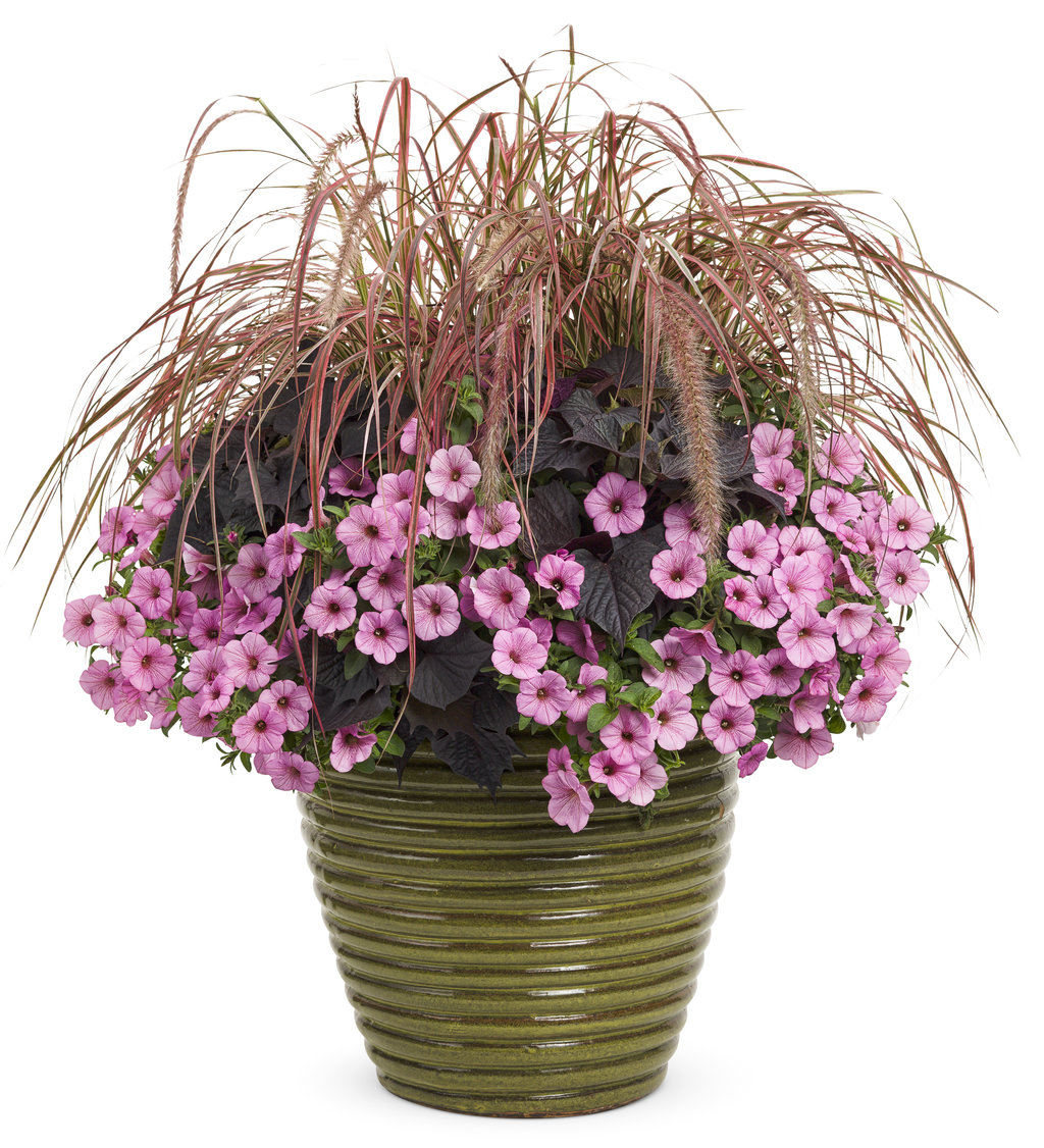 Graceful Grasses® 'Fireworks' - Variegated Red Fountain ...