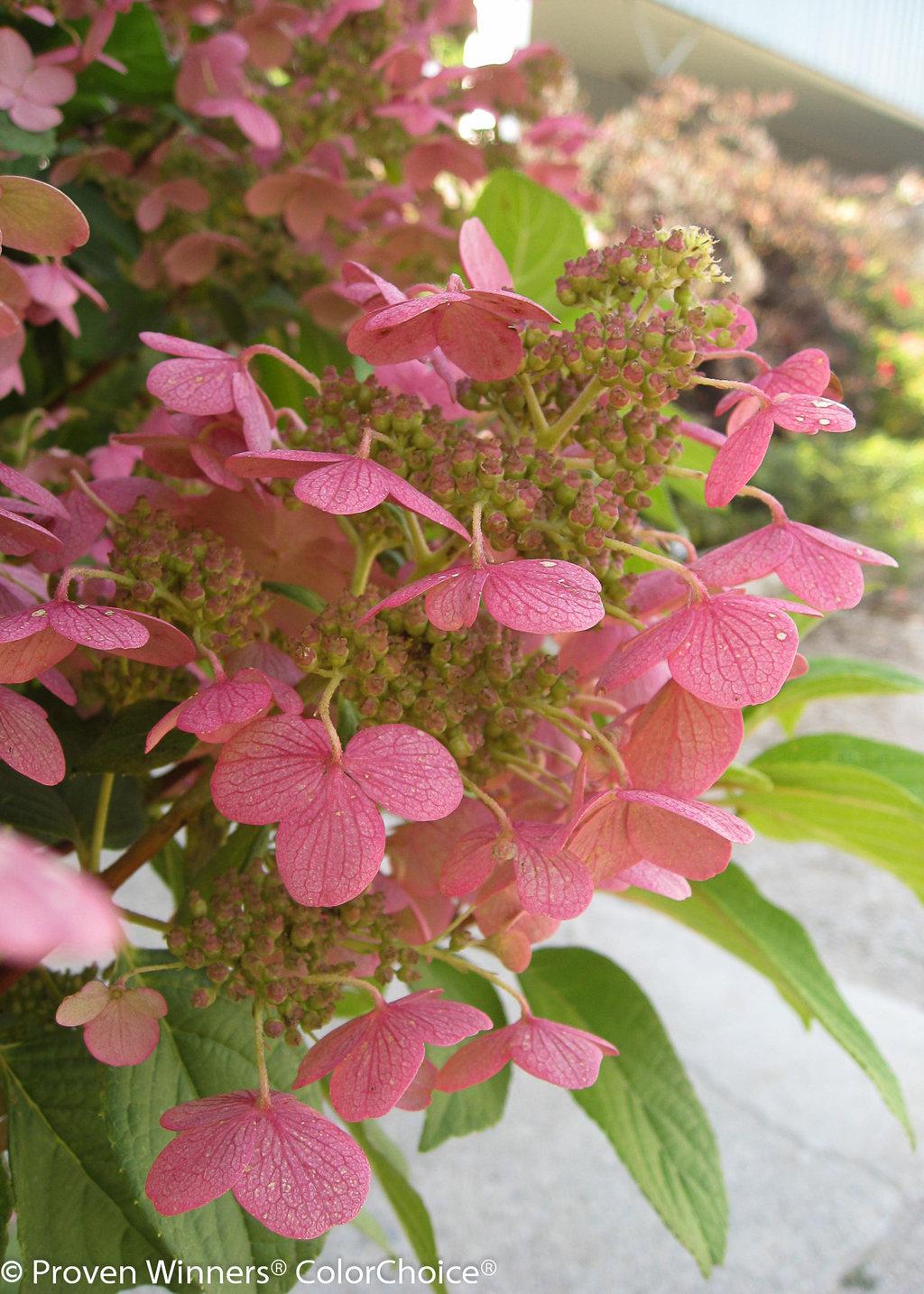 Quick Fire Panicle Hydrangea Hydrangea Paniculata Proven Winners