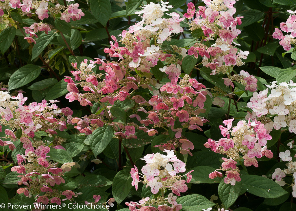 Image Result For Best Fertilizer For White Hydrangeas