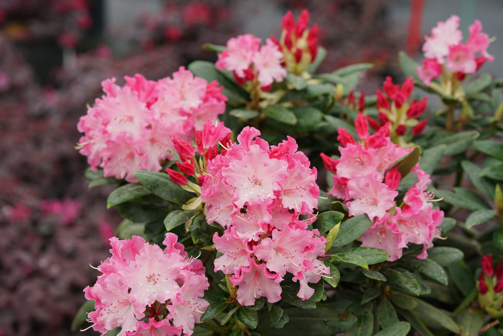 Dandy Man Color Wheel Rhododendron X Proven Winners