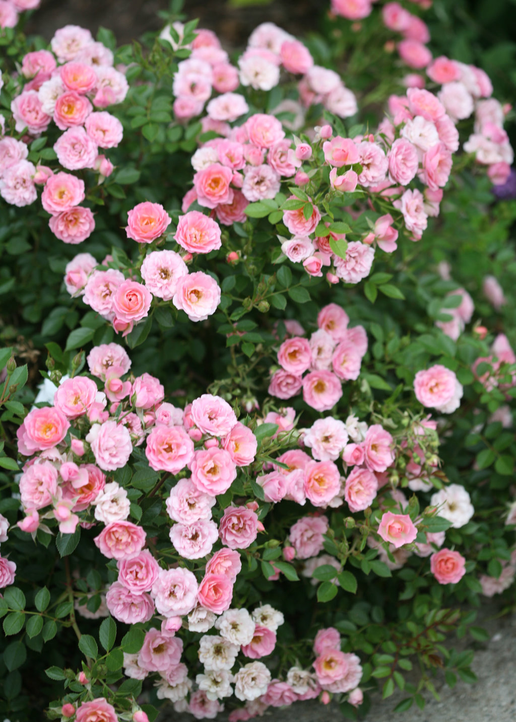 Oso Easy Petit Pink Landscape Rose Rosa X Proven Winners