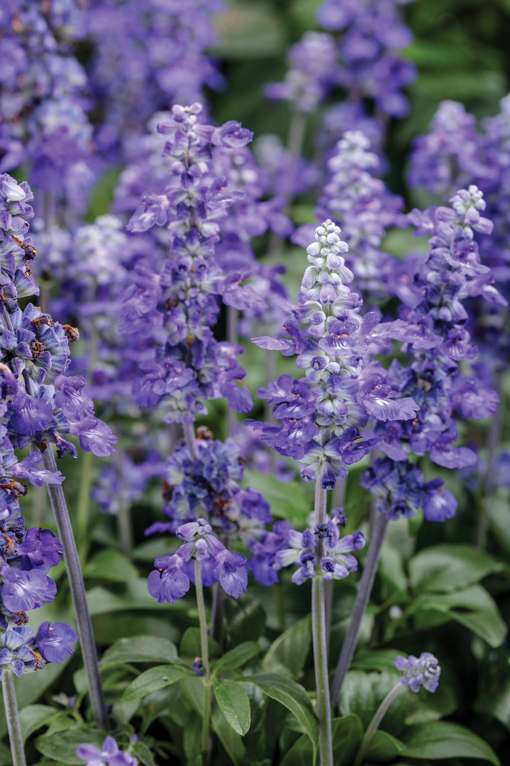 Unplugged® So Blue? - Mealycup Sage