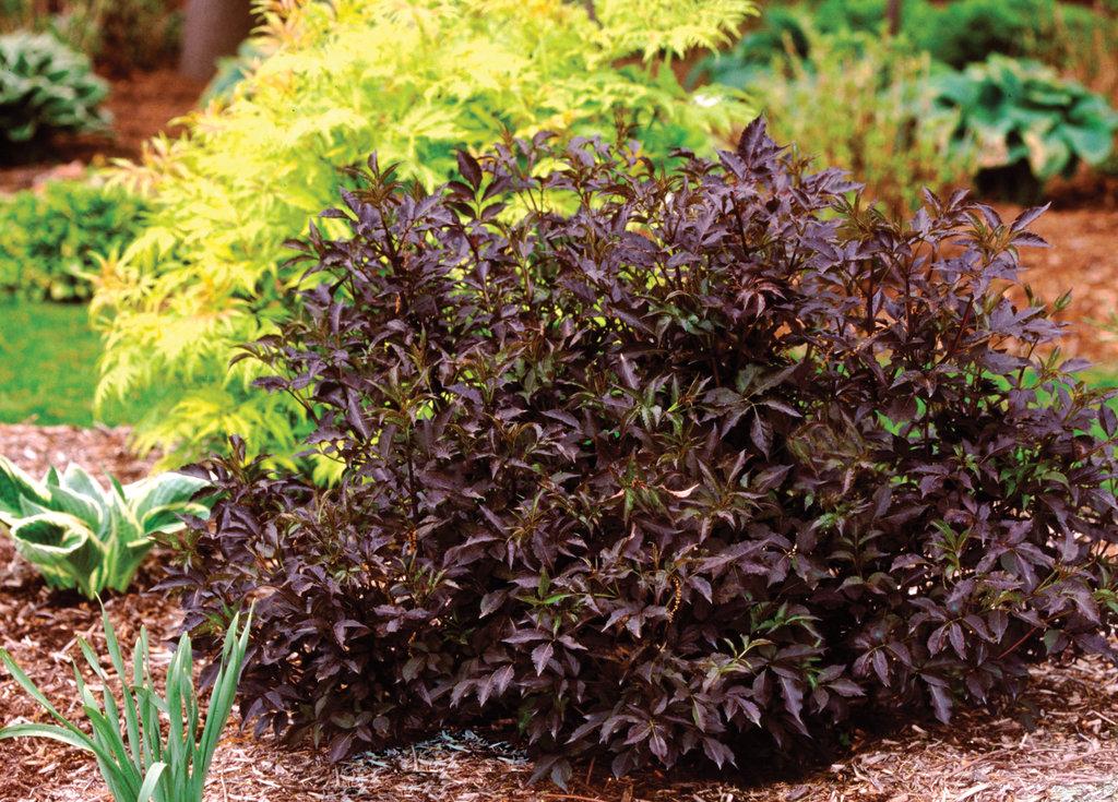 Black Beauty 174 Elderberry Sambucus Nigra Images