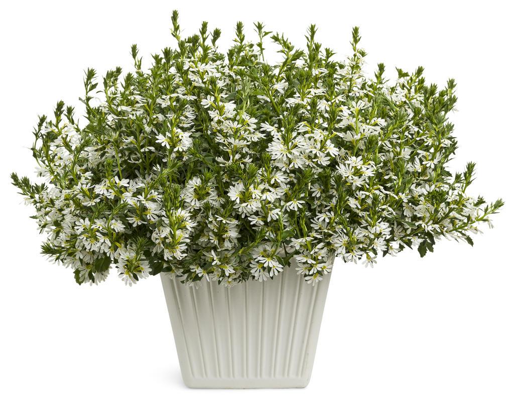 Whirlwind White Fan Flower Scaevola Aemula Proven Winners