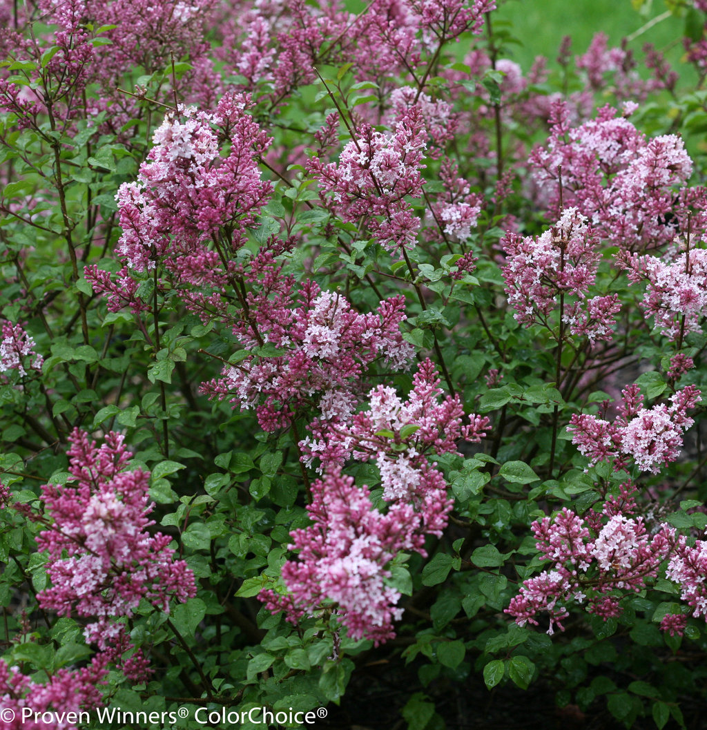 scent and sensibility� pink lilac syringa x proven