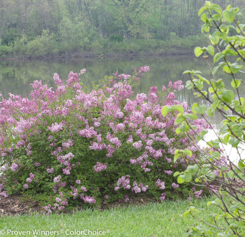 Scent And Sensibility Pink Lilac Syringa Proven Winners