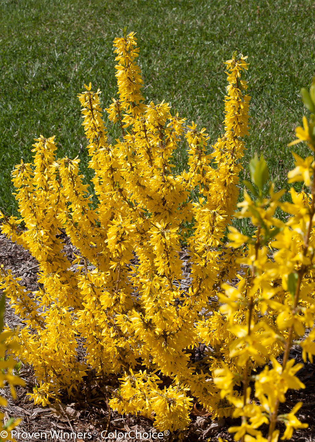 Show Off Sugar Baby Forsythia X Proven Winners