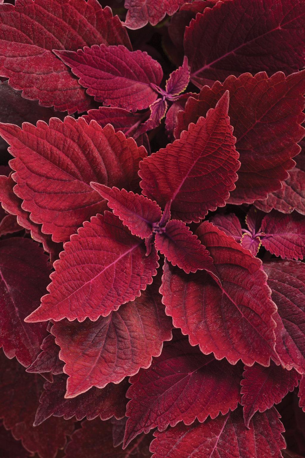 ColorBlaze® Rediculous™ - Coleus - Solenostemon ... on red foliage flowers, red foliage bushes, red foliage grasses, red foliage annuals, red foliage hibiscus, common indoor houseplants, red foliage plants, red and green houseplants, red foliage perennials, red flowering houseplants, red foliage vines,