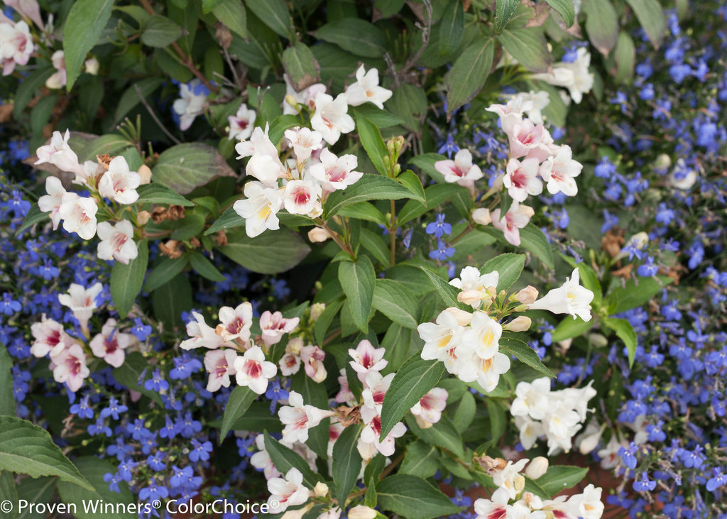Sonic Bloom Pearl Reblooming Weigela Florida