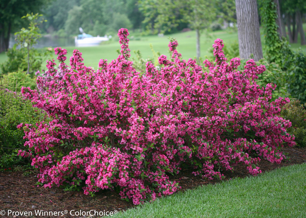 yard planters with Sonic Bloom Pink Reblooming Weigela Weigela Florida 0 on How to Build a Hexagon Planter furthermore Diy Vertical Garden Ideas also Hedge as well 30 Best Diy Christmas Decorations in addition Sonic Bloom Pink Reblooming Weigela Weigela Florida 0.