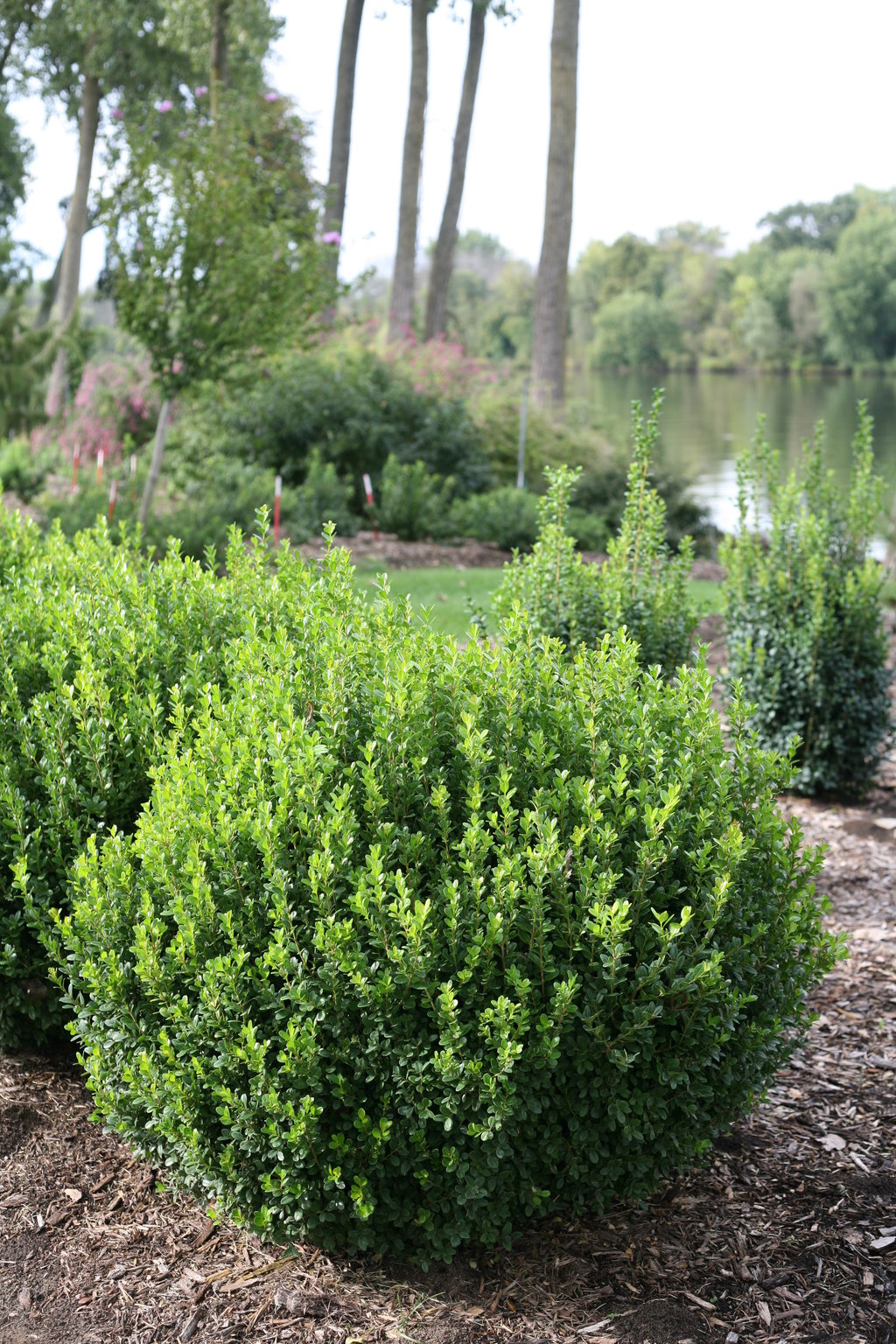 Sprinter® - Boxwood - Buxus microphylla Images | Proven ...