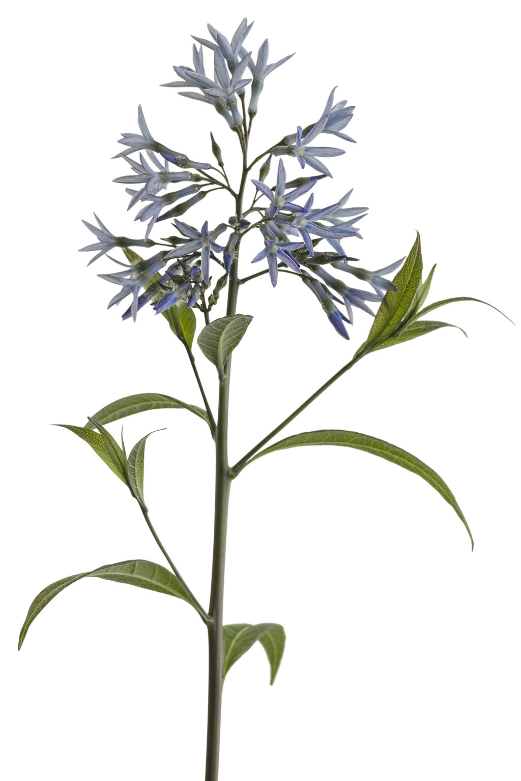 Storm Cloud Bluestar Amsonia Tabernaemontana Proven Winners