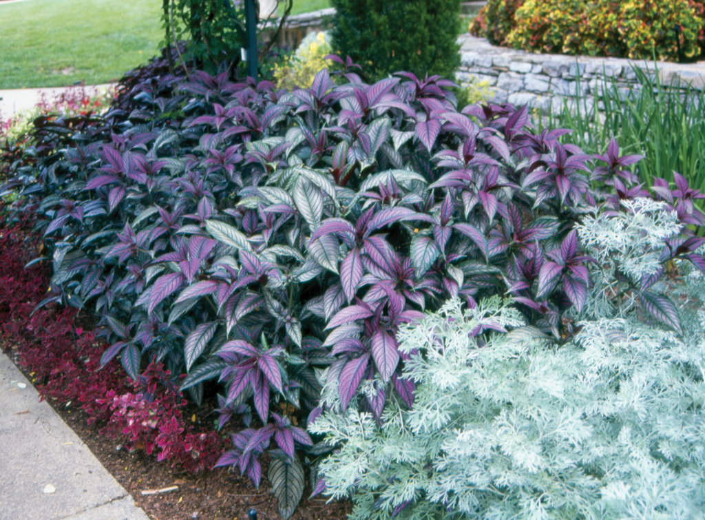 Persian Shield Strobilanthes Dyerianus Images Proven