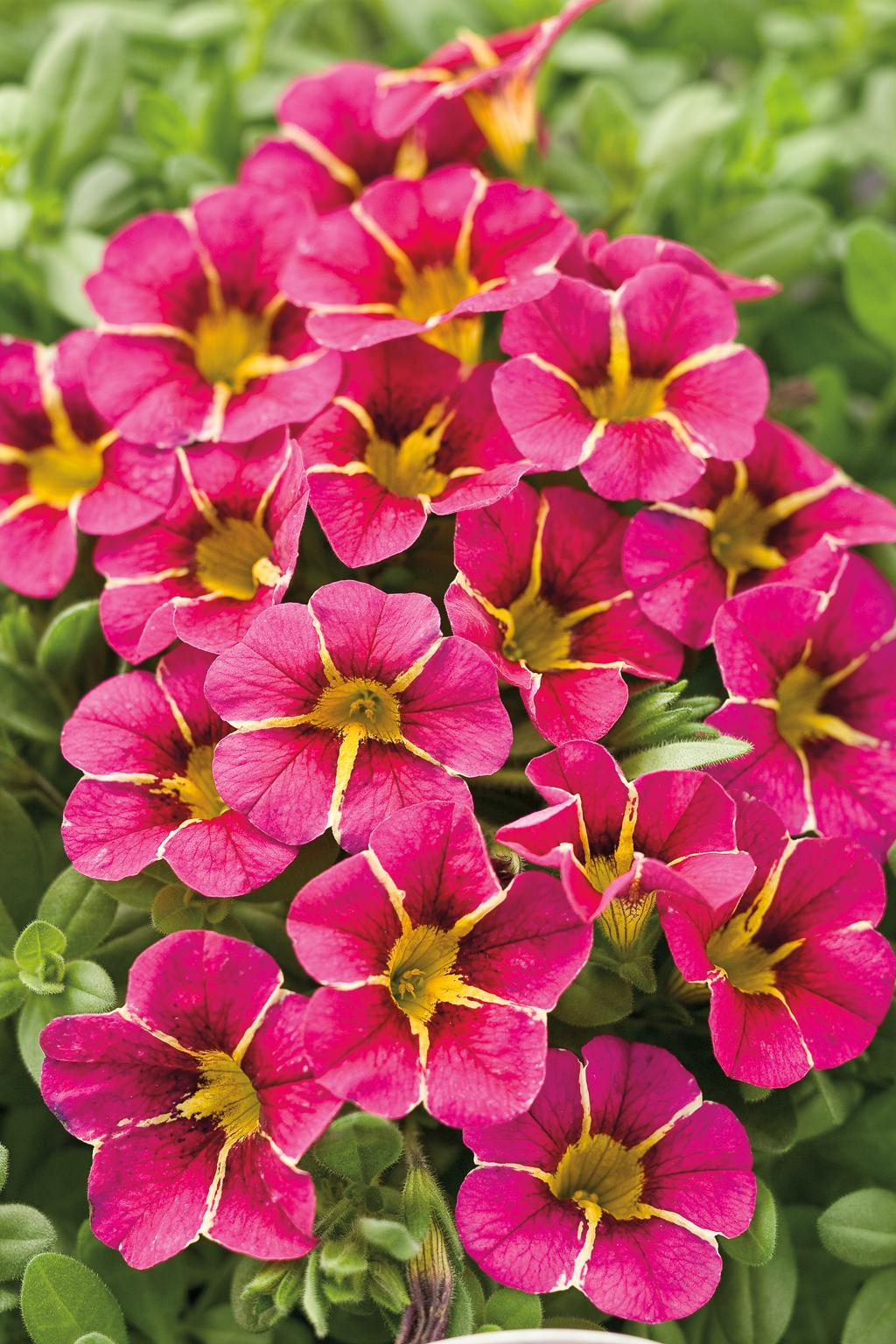 Superbells cherry star calibrachoa hybrid images - Calibrachoa superbells ...