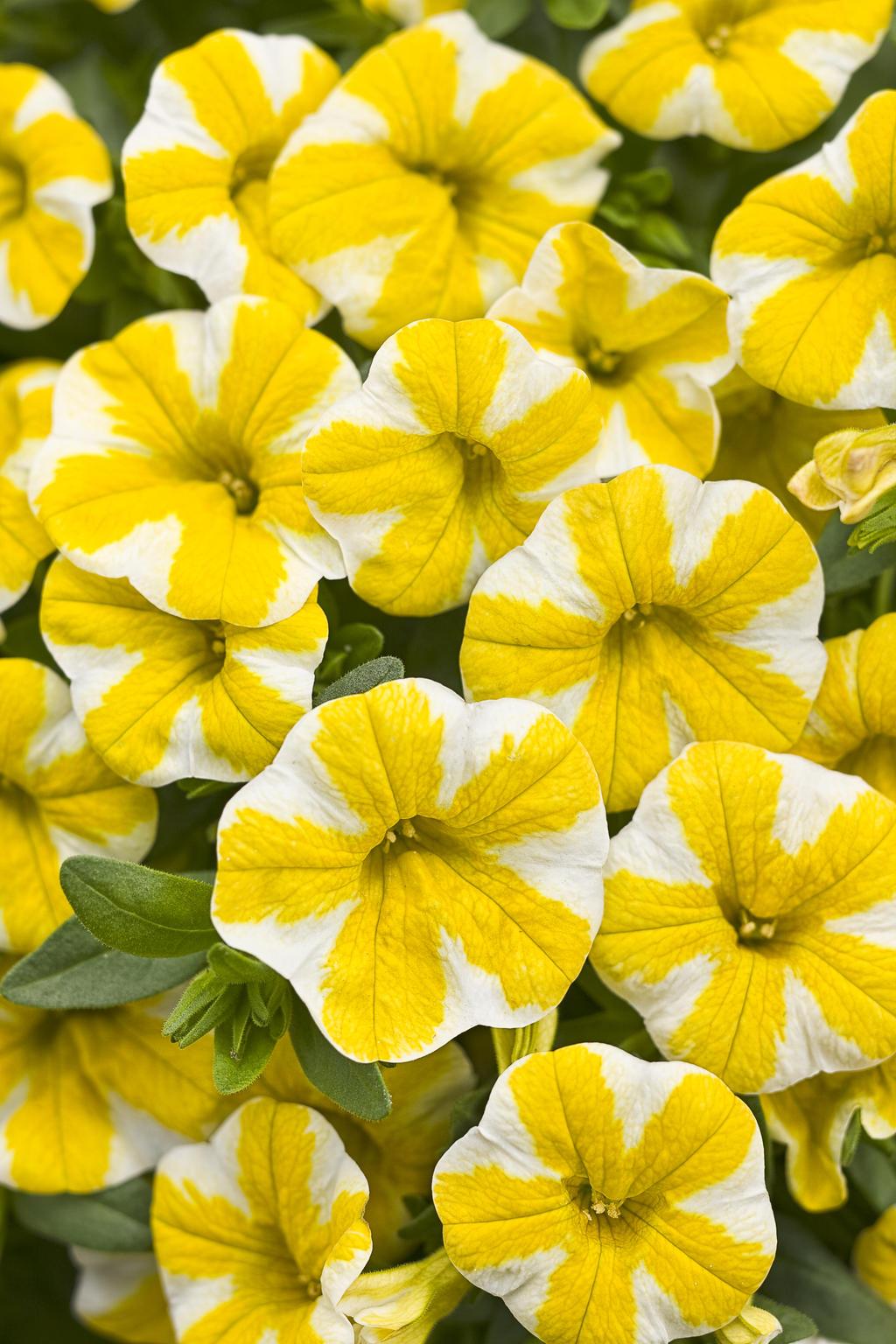 Superbells Lemon Slice Calibrachoa Hybrid Proven Winners