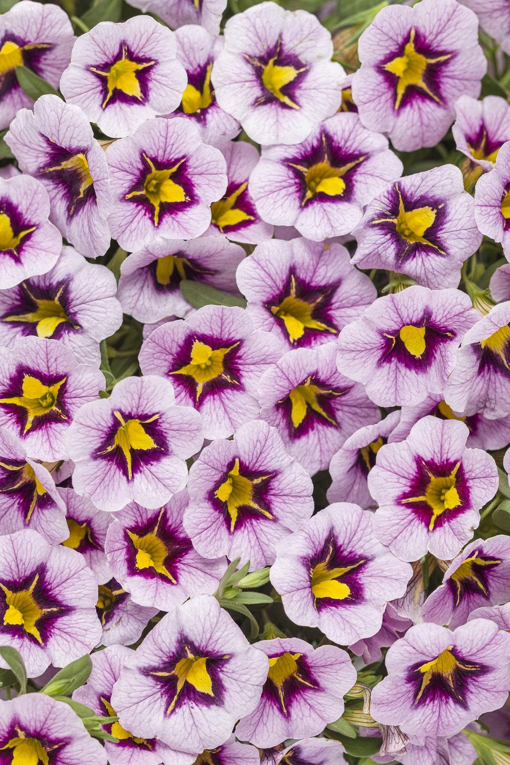 Superbells Morning Star Calibrachoa Hybrid Proven Winners