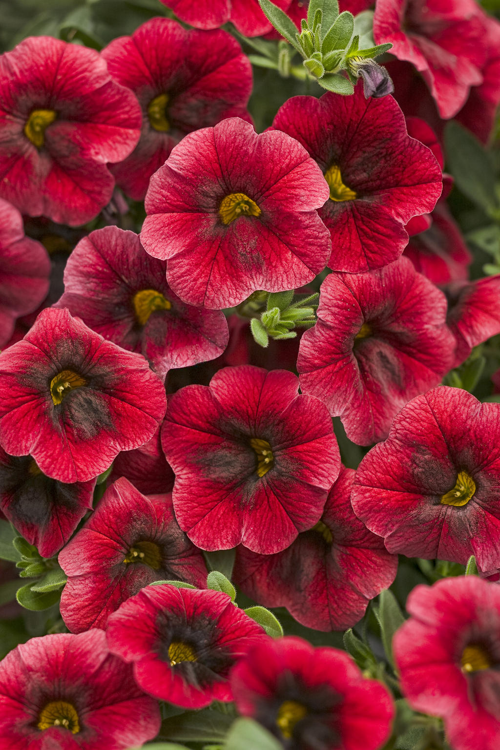 Superbells pomegranate punch calibrachoa hybrid images - Calibrachoa superbells ...