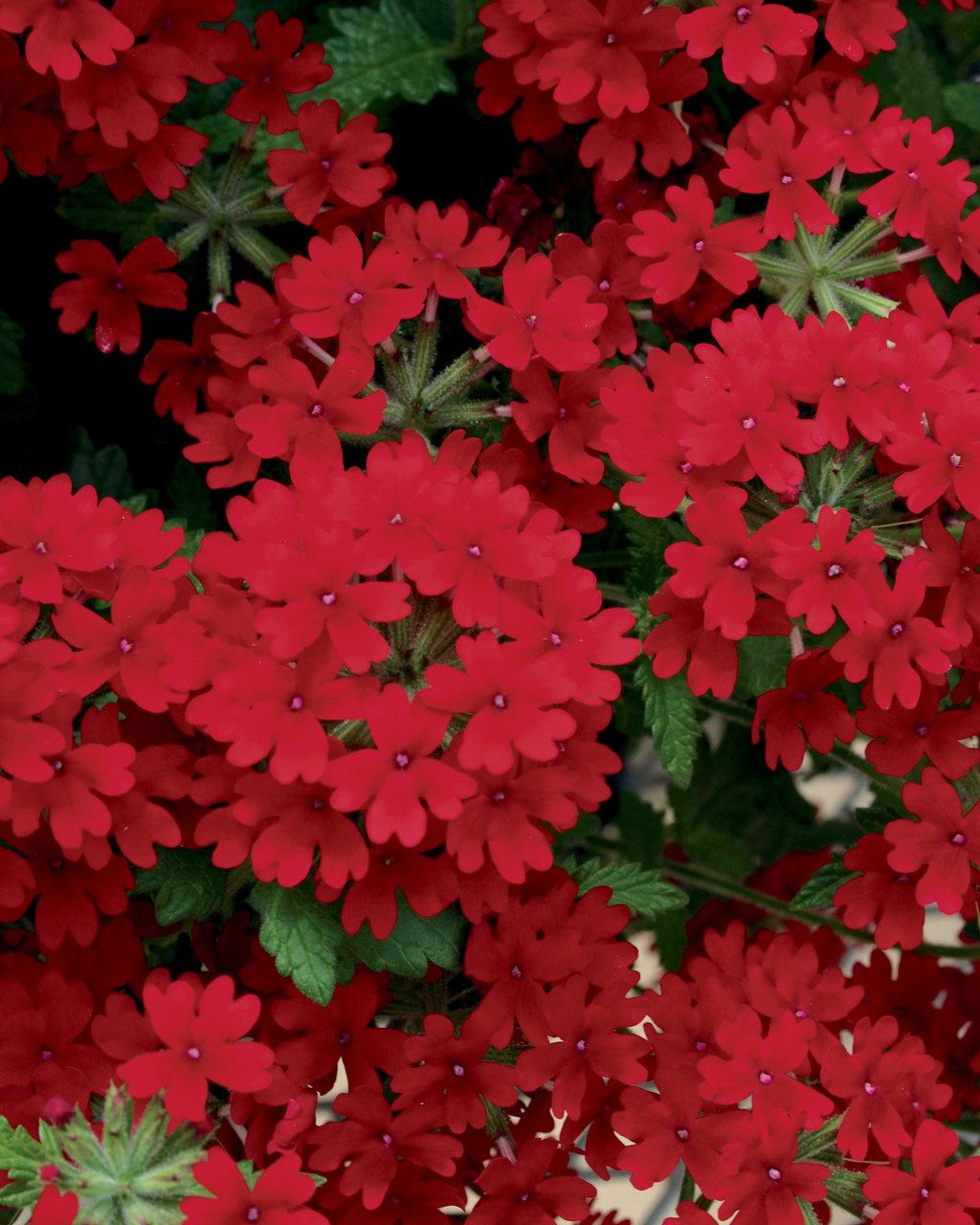 Superbena Royale Red Verbena Hybrid Proven Winners