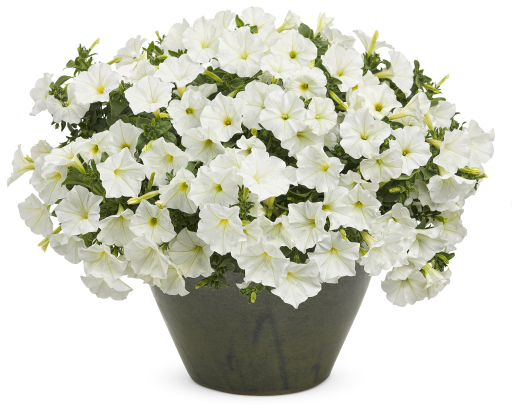 Supertunia® White - Petunia hybrid Images | Proven Winners