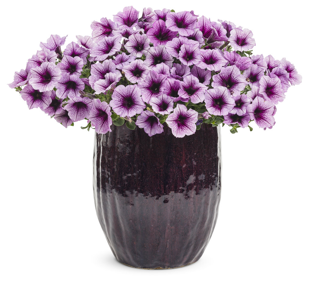 Supertunia Bordeaux Petunia Hybrid Proven Winners