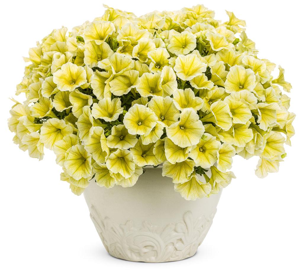 Petunia Supertunia Limoncello - Buy Petunia Annuals Online