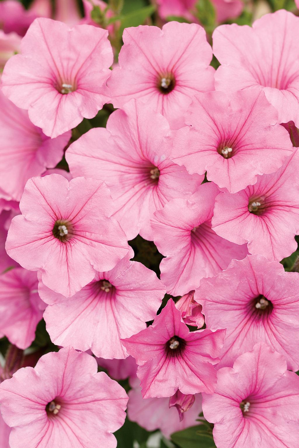 Supertunia Vista Bubblegum Petunia Hybrid Proven Winners
