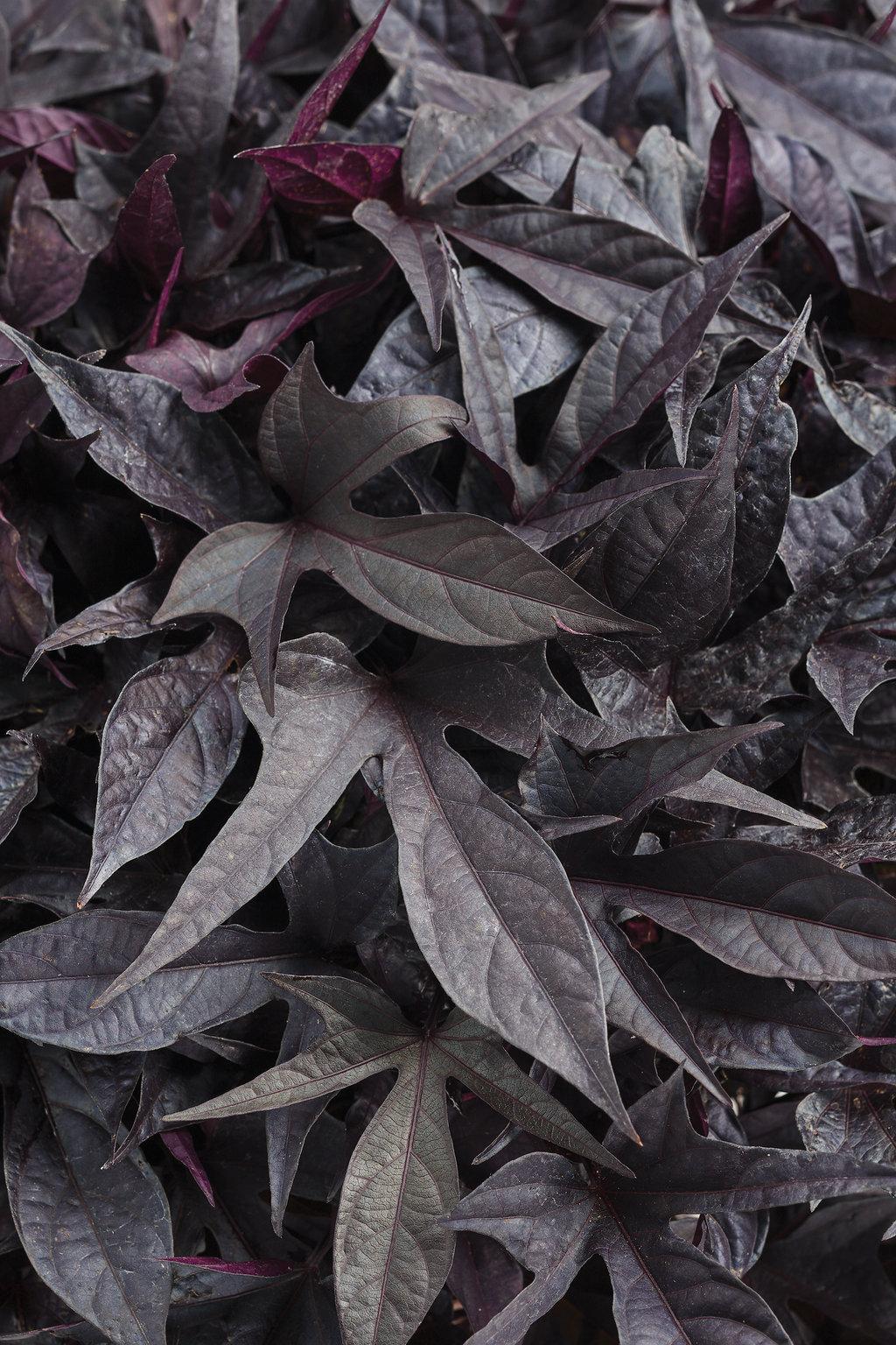 Sweet Caroline Raven™ - Ornamental Sweet Potato Vine ...