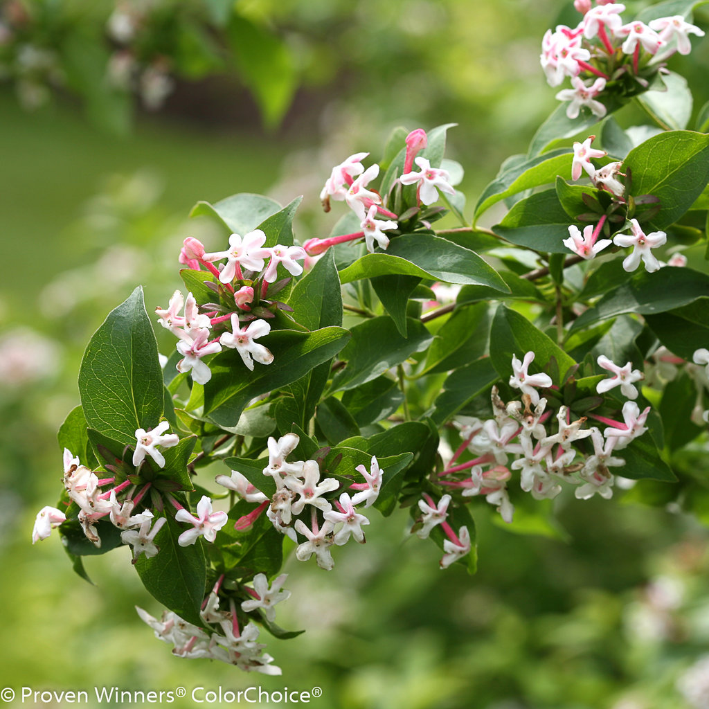 Sweet Emotion Hardy Abelia Abelia Mosanensis Proven Winners