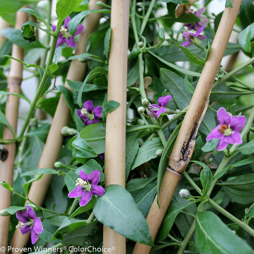 Sweet Lifeberry Goji Berry Lycium Barbarum Proven Winners
