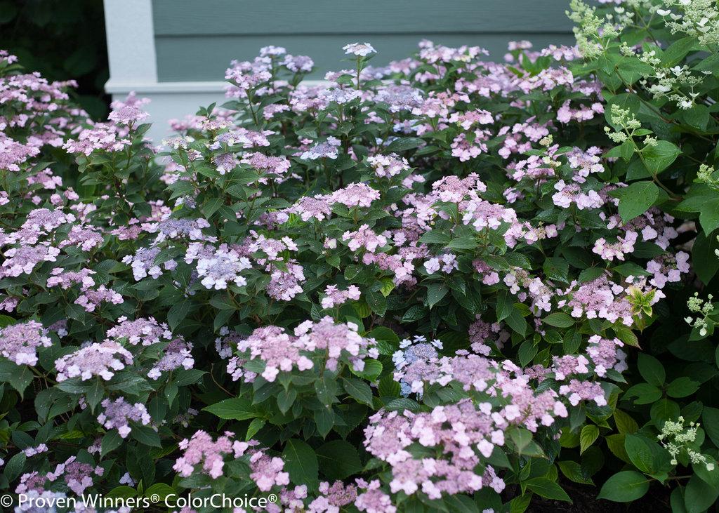 Tiny Tuff Stuff Mountain Hydrangea Hydrangea Serrata Proven Winners