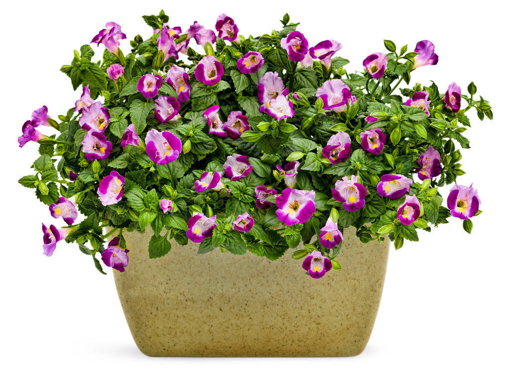Catalina Pink Wishbone Flower Torenia Proven Winners