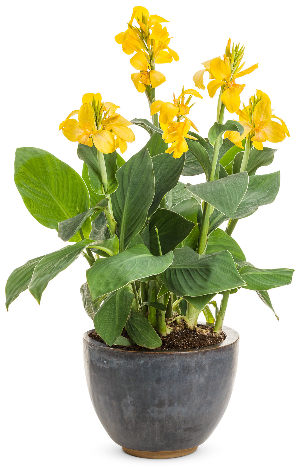 Toucan Yellow Canna Lily Canna Generalis Proven Winners