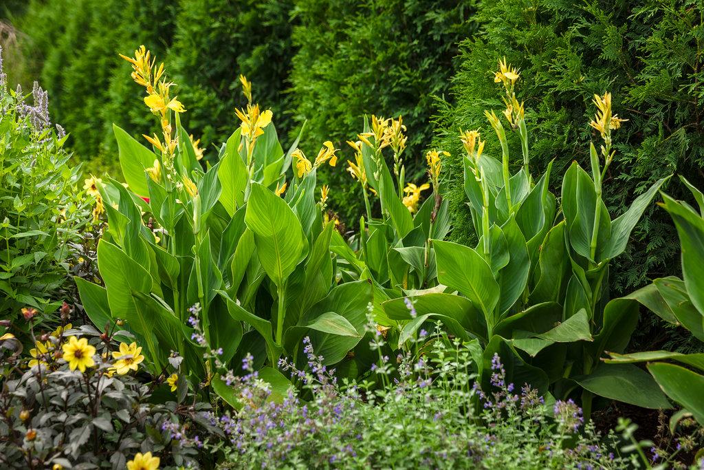 Toucan yellow canna lily canna generalis proven winners tropicalgarden055g mightylinksfo