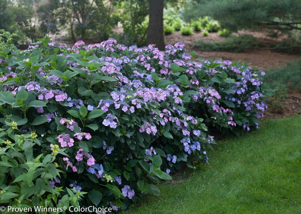 Tuff Stuff Reblooming Mountain Hydrangea Hydrangea Serrata Proven Winners