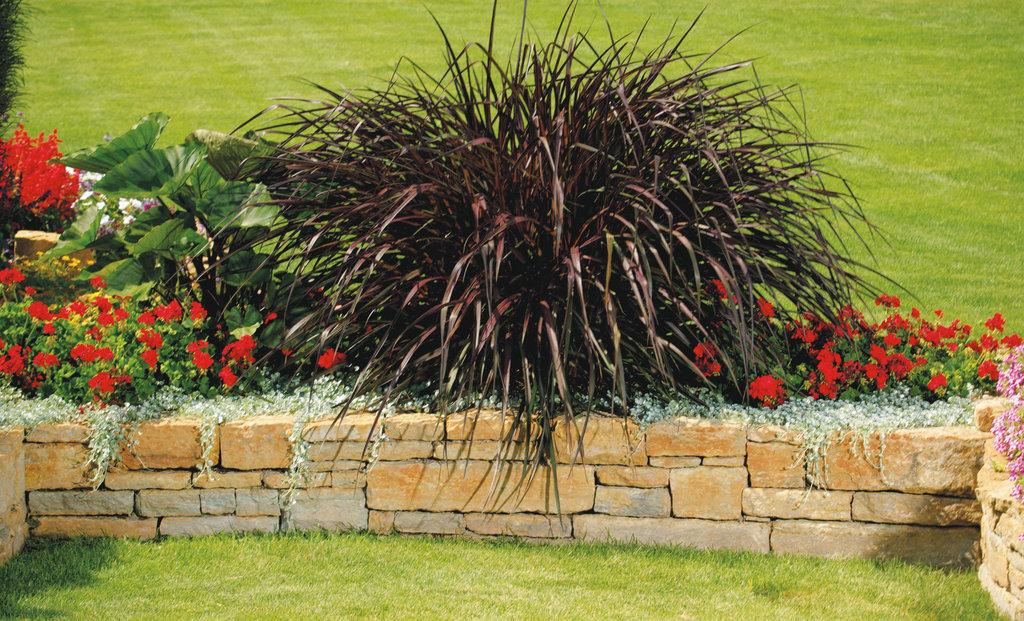 Graceful grasses vertigo purple fountain grass for Fountain grass for shade
