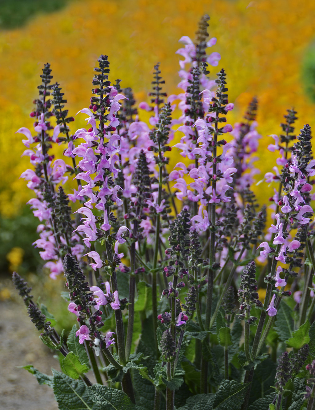 Color spires pink dawn perennial salvia salvia hybrid color spires pink dawn perennial salvia salvia hybrid proven winners mightylinksfo