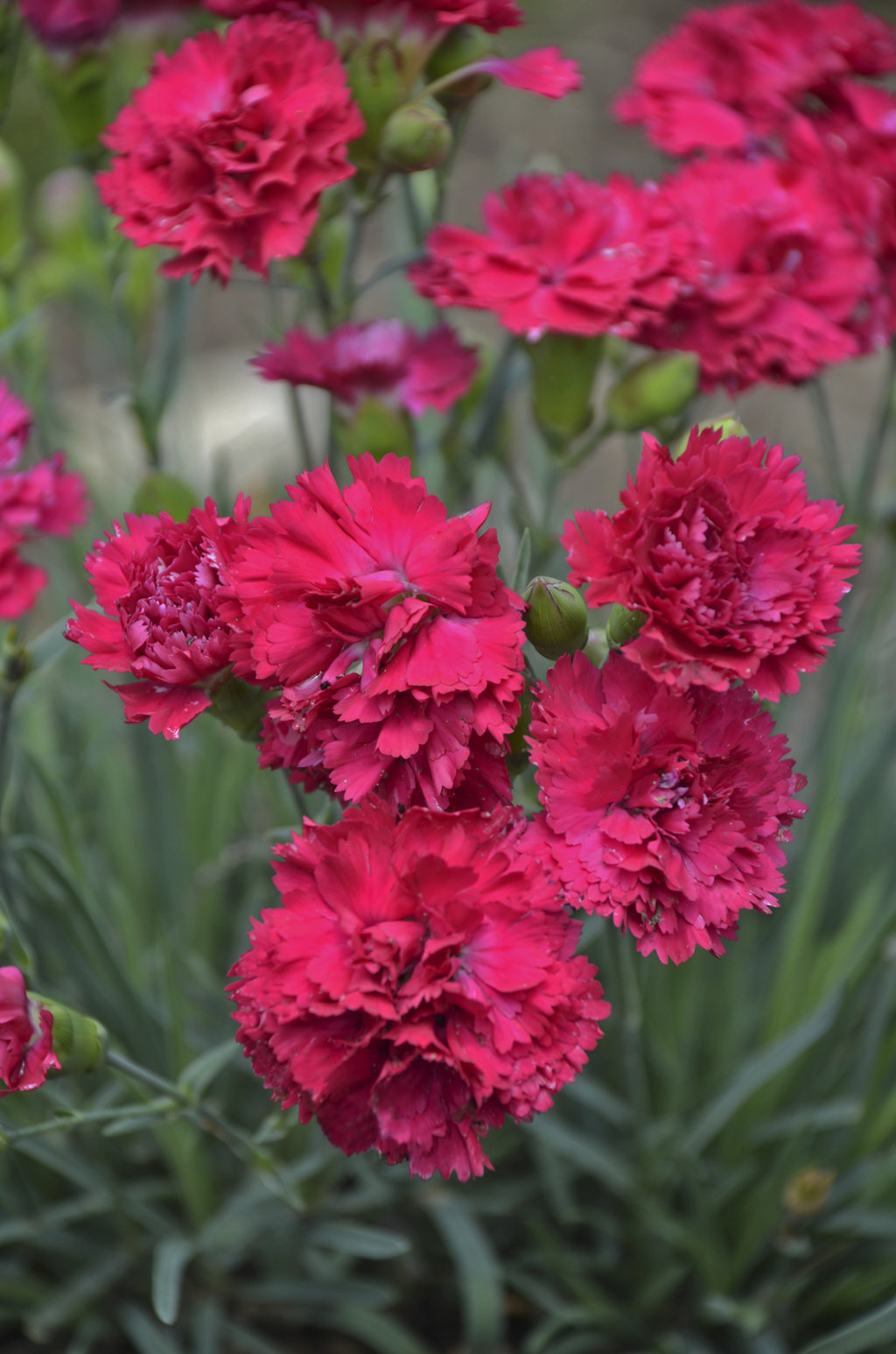 Fruit punch cranberry cocktail pinks dianthus hybrid proven waltersgardens hi24923 dianthus fruit punch reg cranberry cocktailppaf mightylinksfo