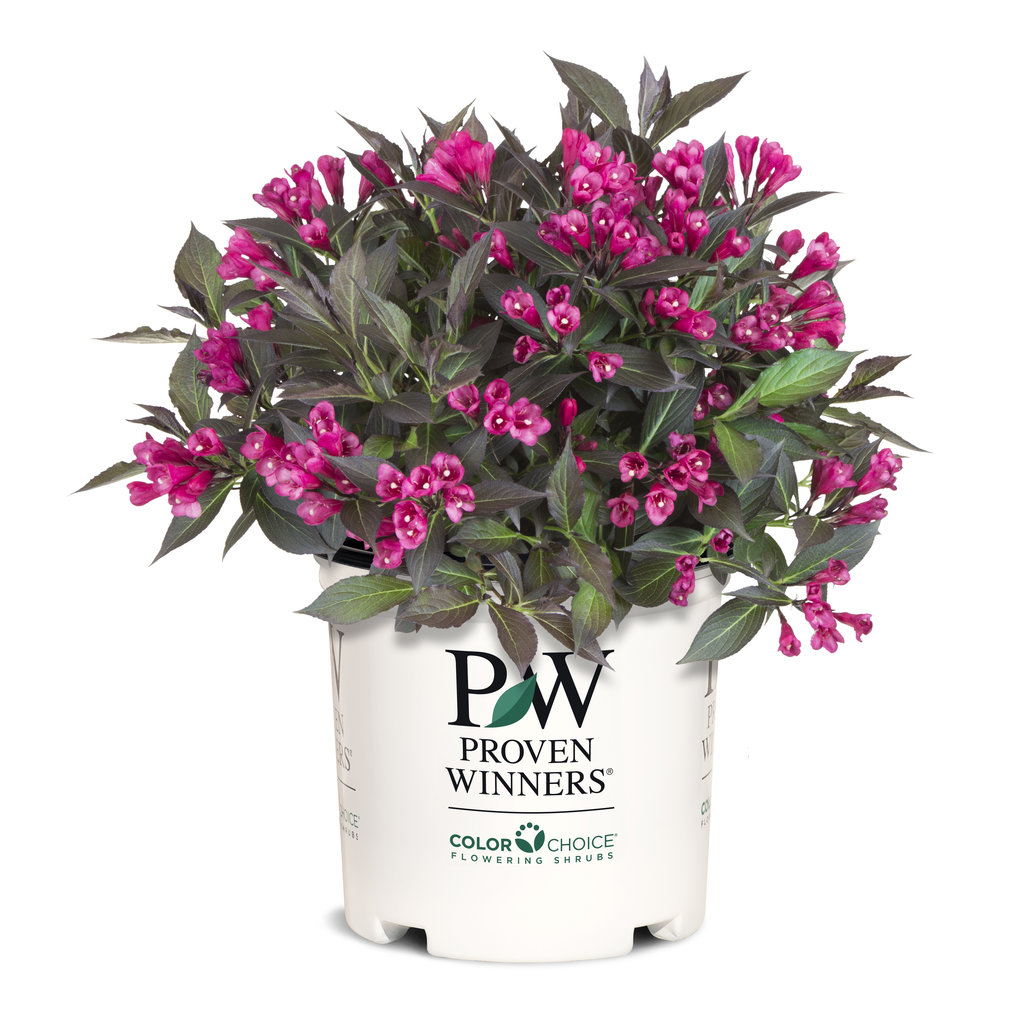 Spilled Wine 174 Weigela Florida Images Proven Winners