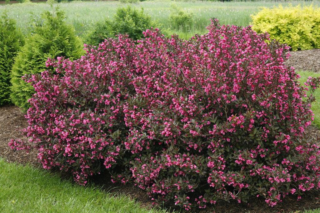 Potted Pink Weigela 6-10 Weigela florida