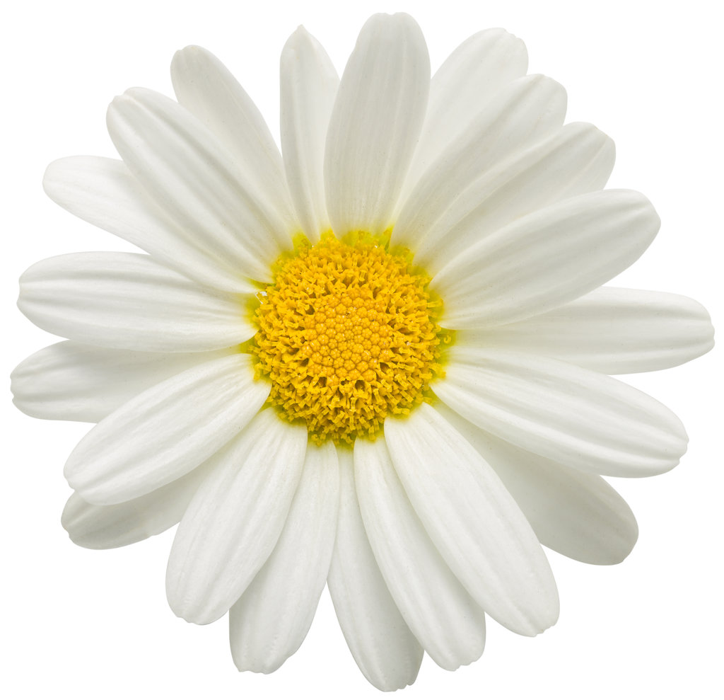 pure white butterfly marguerite daisy argyranthemum frutescens