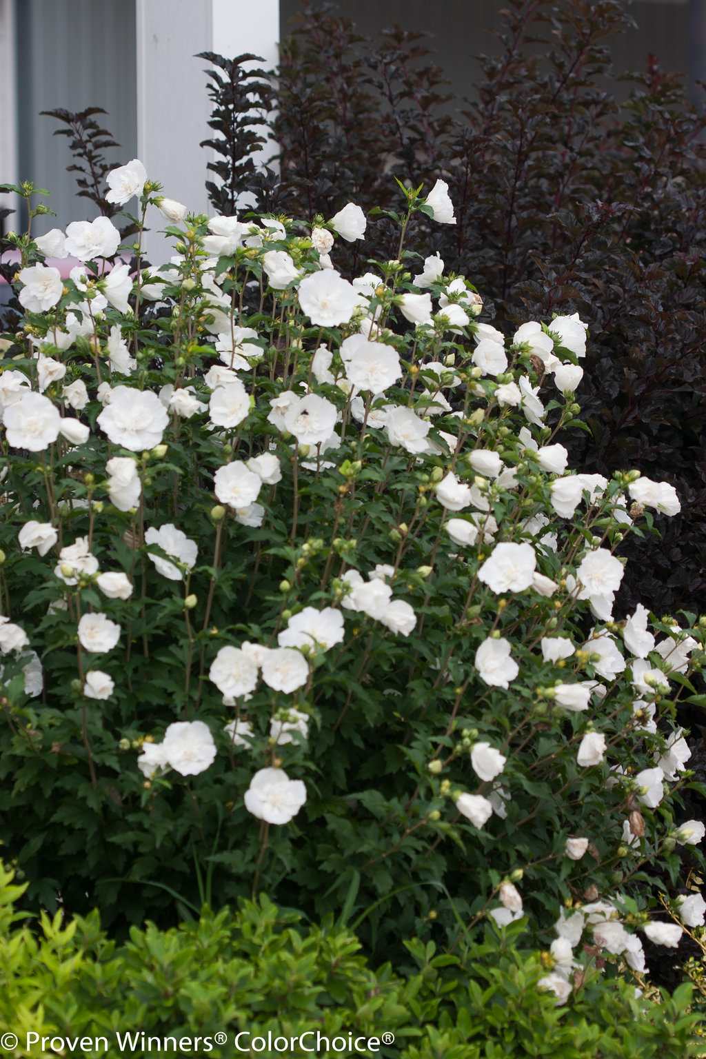 White Chiffon Rose Of Sharon Hibiscus Syriacus Proven Winners