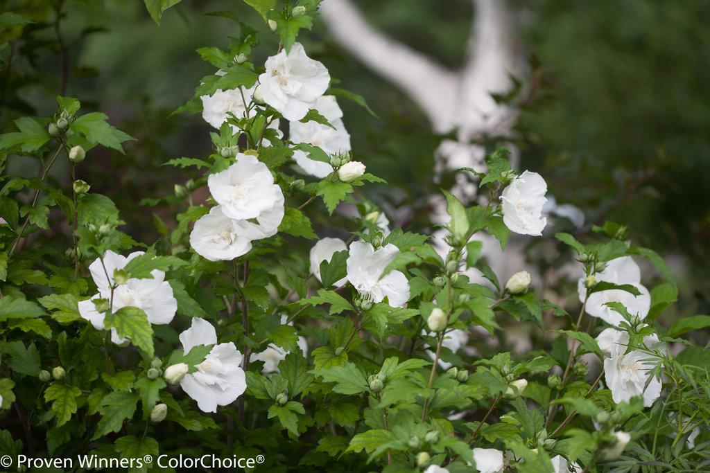 White Chiffon Rose Of Sharon Hibiscus Syriacus Proven Winners