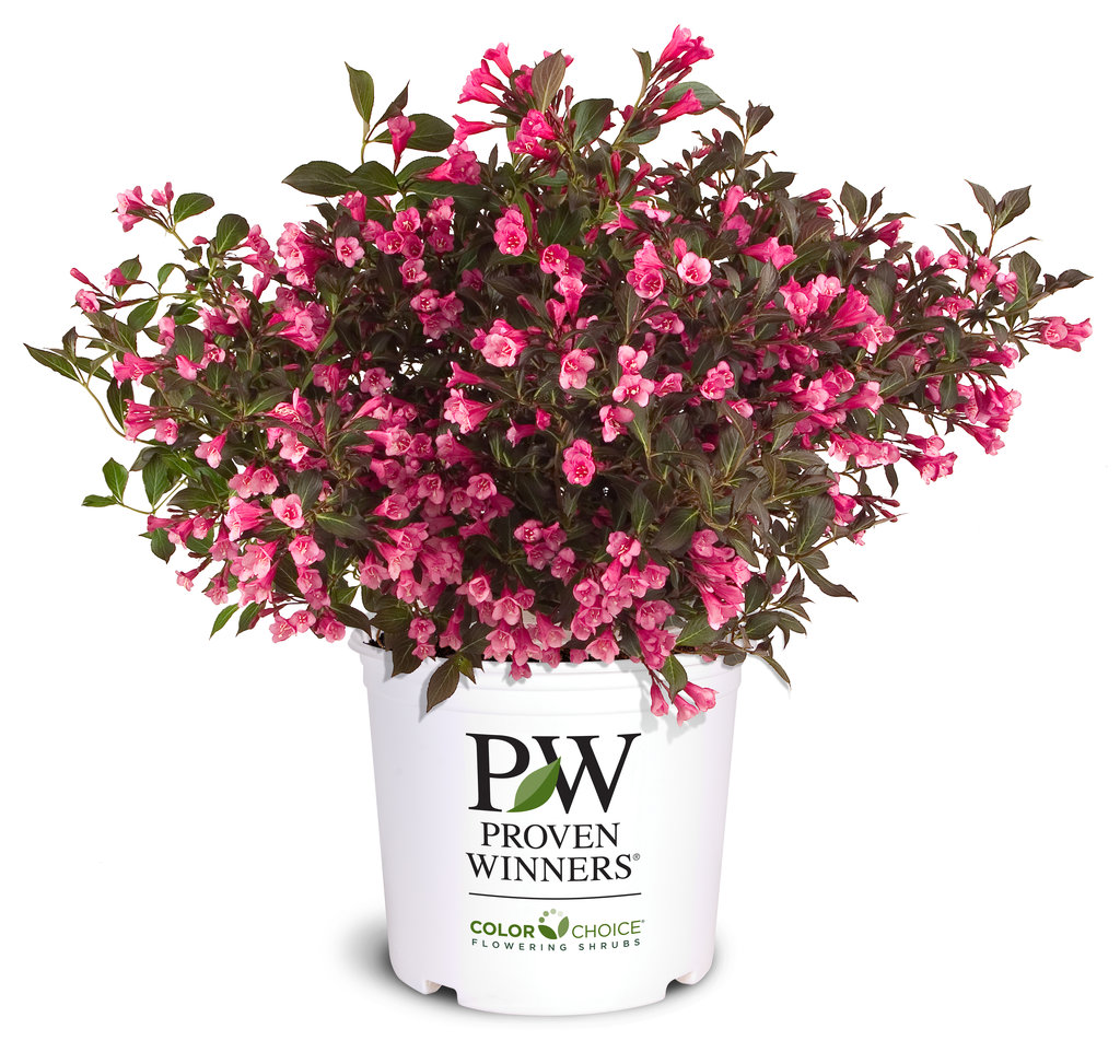 Wine & Roses® - Weigela florida | Proven Winners