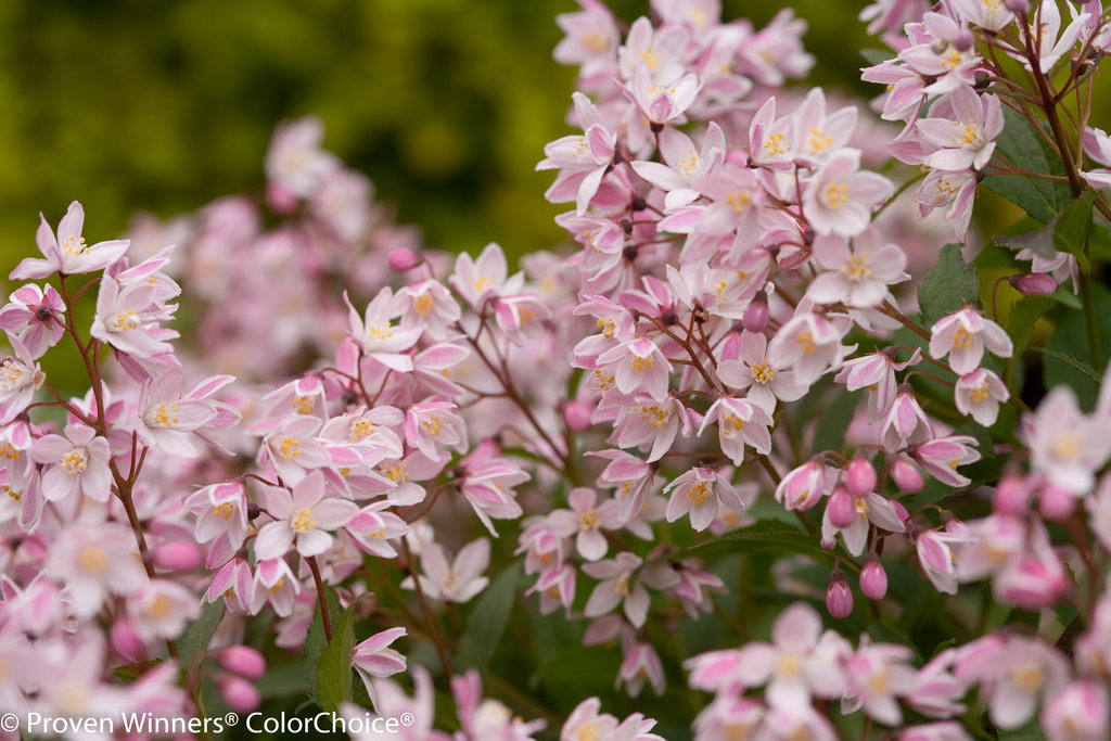 Yuki Cherry Blossom 174 Deutzia X Images Proven Winners
