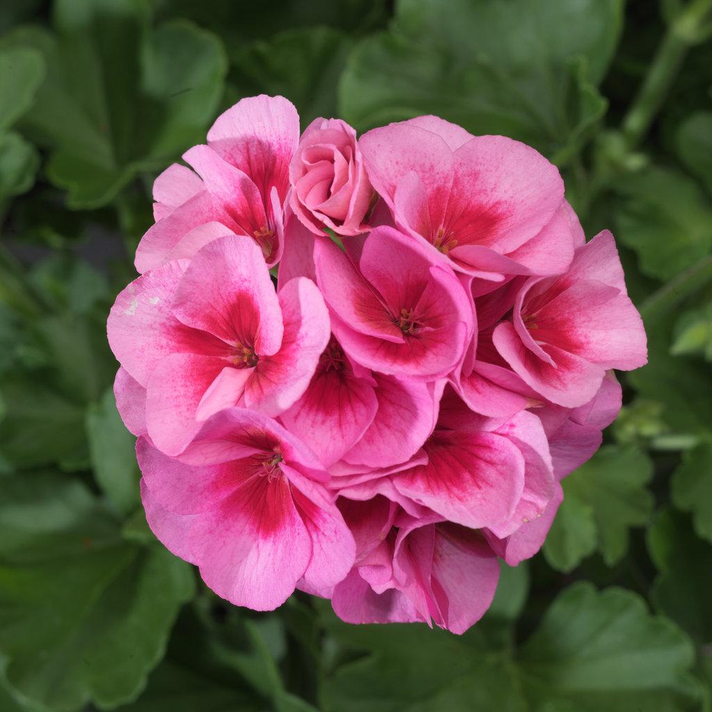 Picture of Live Geraniums Zonal Rose MegaSplash aka Pelargonium hortorum Plant Fit 1GAL Pot
